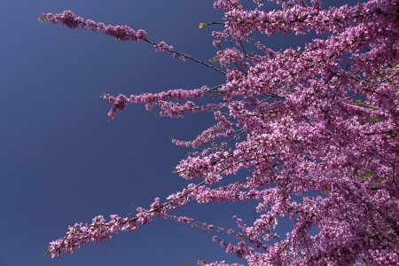 redbud tree: Flowers of a Redbud Tree
