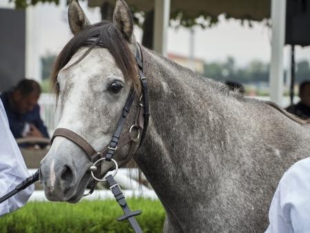 winning location: An Arabian Grey Pony at the auction