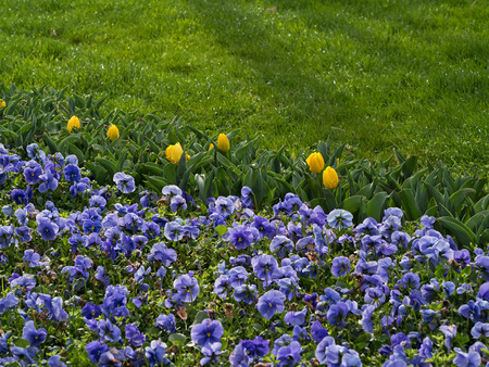 Purple Pansies with Yellow Tulips photo