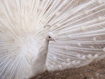 wooing: White Peacock 2