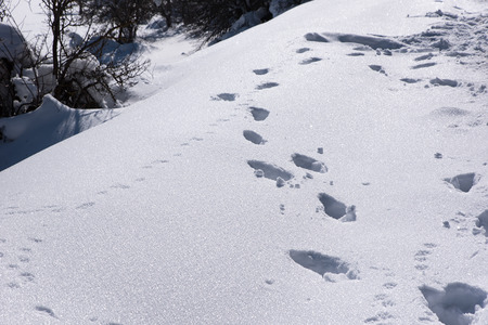 huellas de animales: Tracks Animal En La Nieve