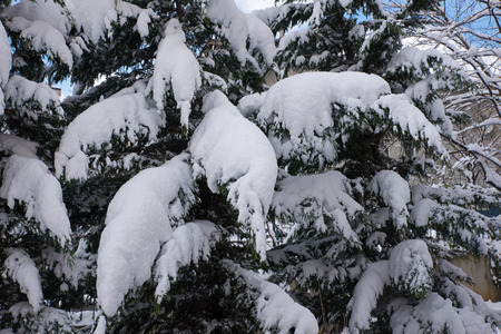 tree branches: Snowy Tree Branches