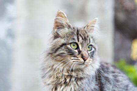 ojos verdes: Hermoso gato atigrado con pelo largo y los ojos verdes Foto de archivo