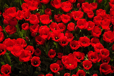 overhead view: Overhead View of Many Red Tulips