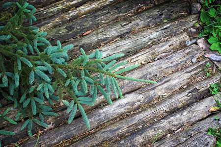 pinetree: Wooden background with fir tree Stock Photo