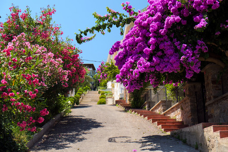 bougainvilleas: Beautiful Street Covered With Bougainvilleas and Oleanders