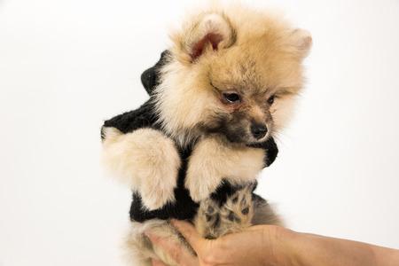 cuteness: Cute Pomeranian Puppy On Hand