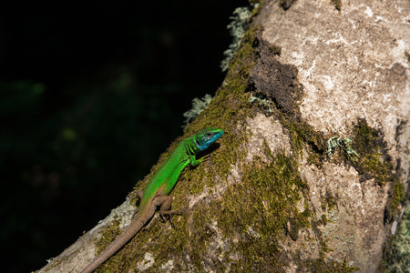 lacerta: European Green Lizard Lacerta viridis it is ten Sunbathing Tree Stock Photo