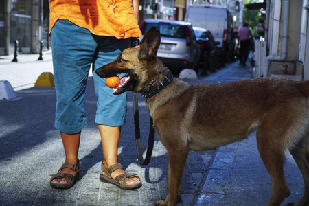 watchdog: Young Belgian Shepherd with its owner and carrying ball at the street.