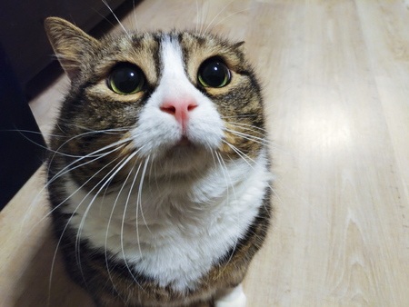 Super cute fat tabby cat is begging for food Stock Photo