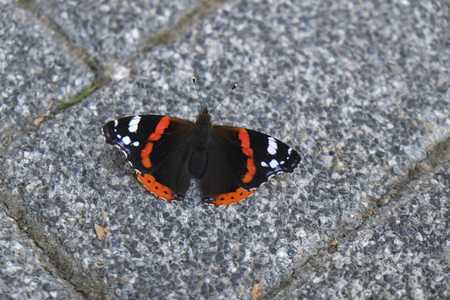 Black white and orange colored butterfly on stone ground at street