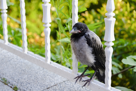 Young crow is standing on iron fence with plants at background Stock Photo