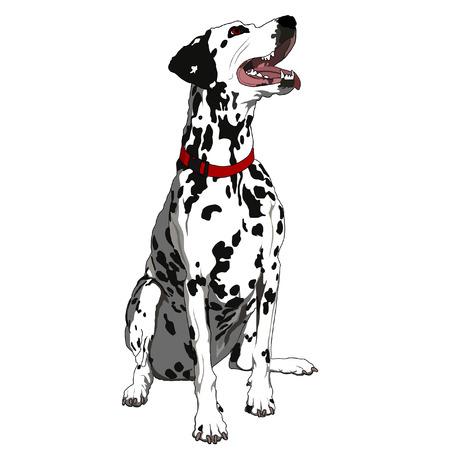 dalmatier: Gehoorzaam Dalmatische