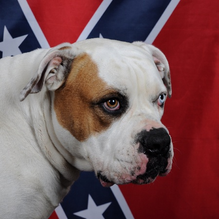 American bulldog with Flag of the Confederacy photo