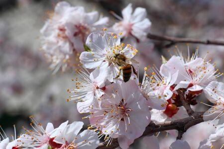Bee pollinates the flowers of fruit trees Banco de Imagens