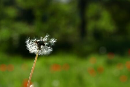 The wind blows on a fragile dandelion