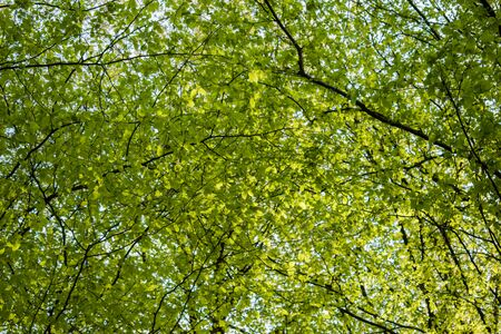 Green tree canopy in spring with fresh leaves. View from below