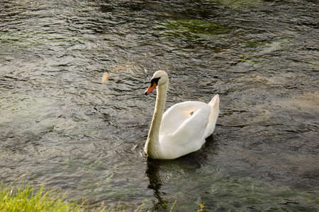 One white swan in the clean river