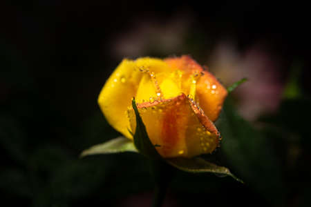 Dewy rose buds on a flower bed, selective focus. Stock Photo