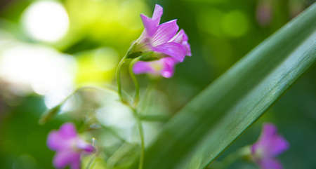 Clover flower with beautiful lilas color in early spring in Brazil, with very blurred background, selective focus.