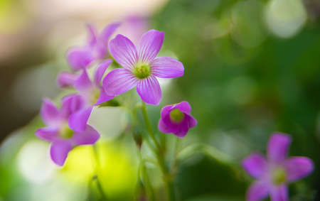 Clover flower with beautiful lilas color in early spring in Brazil, with very blurred background, selective focus. Banque d'images