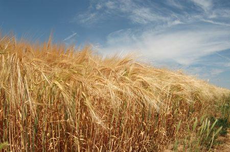 field of wheat and blue sky