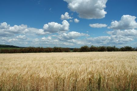 agricultura: field of wheat