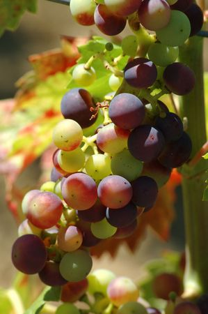 sappy: bunch of grapes