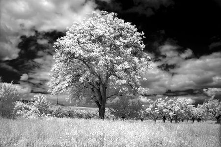 enchanting: The Alone Tree. Infrared view.
