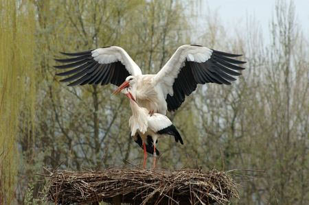 reproduction animal: storks