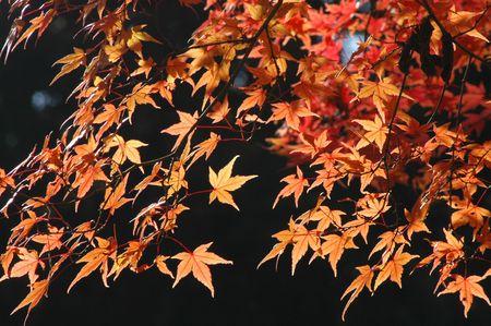 japenese: arce japon�s rojo