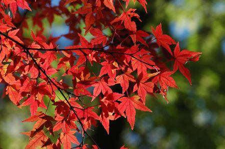 red japanese maple with green background