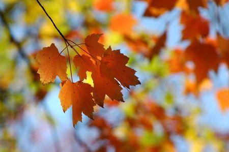 orange maple leafs