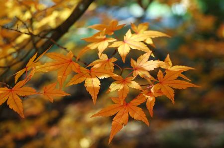 japanese maple leafs Stock Photo - 236970