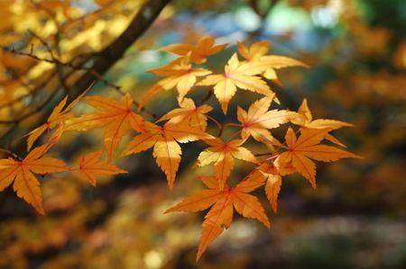 japanese maple leafs Stock Photo