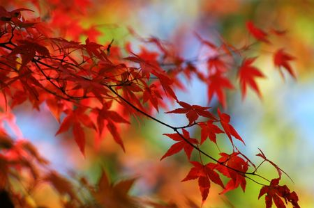 japanese maple Stock Photo - 236988