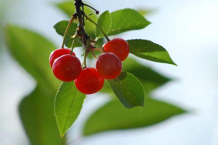 sappy: sunny cherry Stock Photo