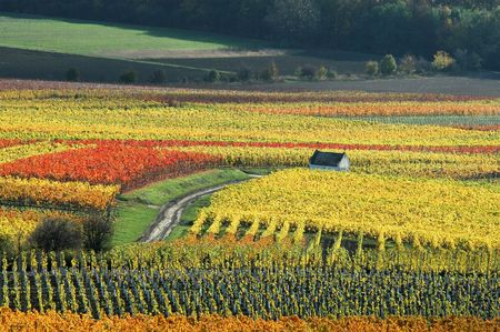vineyards in autumn colors photo