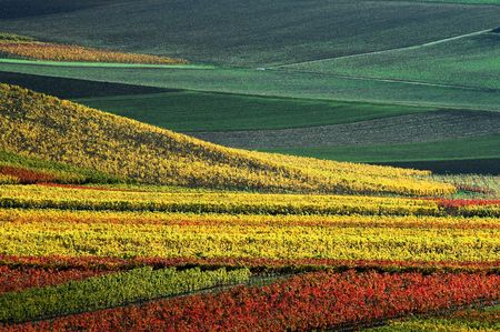 vineyard in autumn colours photo