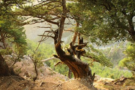 hardness: Old Tree in Mountains. Crete, Greece