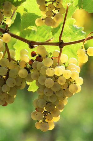 sappy: Grapes