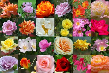 Rose collection Stock Photo - 274378
