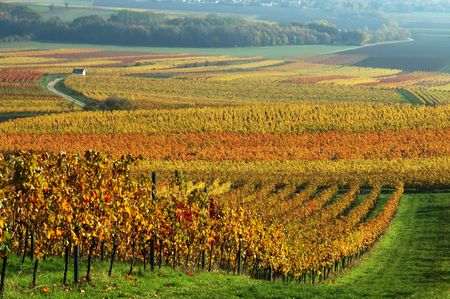 Vineyard in autumn. Germany Stock Photo - 274391