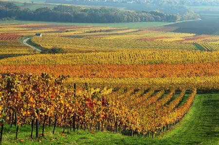Vineyard in autumn. Germany Stock Photo - 274391