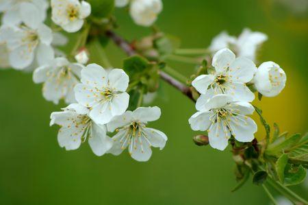 cherrytree: Cherry-tree flower