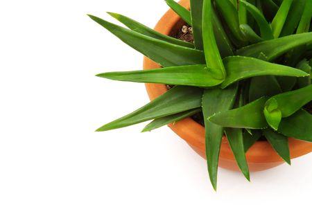 Aloe Stock Photo - 295689