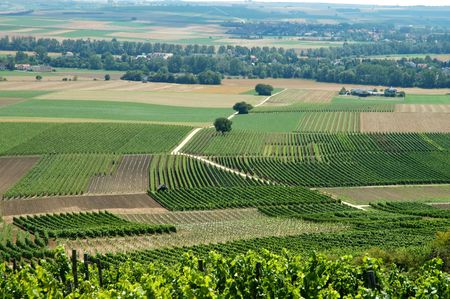 vineyard plain: Summer landscape