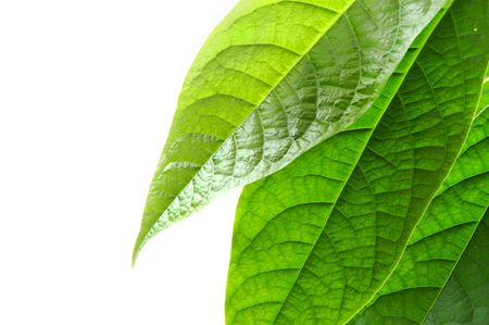 Green leaves on white background Stock Photo - 372896