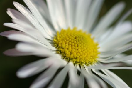 Closeup wild daisy (shallow DOF) photo