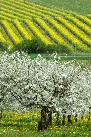 blossoming yellow flower tree: Cherry tree and vineyards. Germany